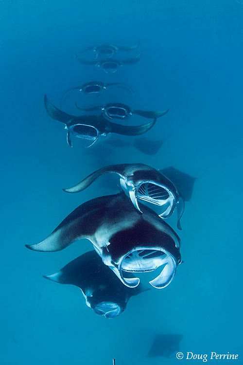 reef manta rays, Manta alfredi (formerly Manta birostris ), chain feeding on plankton, Hanifaru Bay, Baa Atoll, Maldives ( Indian Ocean )