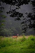 Morning deer, York Maine