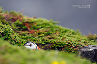 Atlantic puffin, Newfoundland, Canada