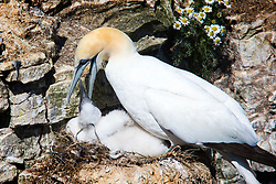 © Licensed to London News Pictures. 26/06/2017. Bempton UK. A Gannet feeds its chick as young birds are starting to appear at the RSPB Bempton Cliffs on the Yorkshire coast where 250,000 seabirds arrive each year to rear their young. Photo credit: Andrew McCaren/LNP