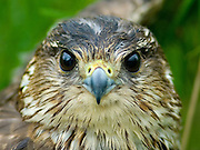 The Merlin (Falco columbarius) is a smallish falcon from the Northern Hemisphere.
