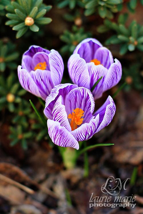 Variegated purple and white Crocus with bright orange stamens