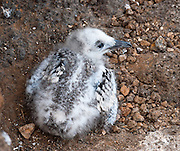 """A Swallow-tailed Gull chick (Creagrus furcatus, the only species in the genus Creagrus) waits for a parent to bring food to a bare ground nest on North Seymour Island in the Galápagos archipelago, a province of Ecuador, located 972 km west of the continent of South America. The Swallow-tailed Gull is an equatorial seabird in the gull family Laridae. Its scientific name is derived from the Latin Larus, """"gull"""" and furca """"two-tined fork"""". It spends most of its life flying and hunting over the open ocean. The main breeding location is the cliffs of the larger Galápagos Islands, with lower numbers on most of the smaller islands. It is more common on the eastern islands where the water is warmer. It is the only fully nocturnal gull and seabird in the world, preying on squid and small fish which rise to the surface at night to feed on plankton."""