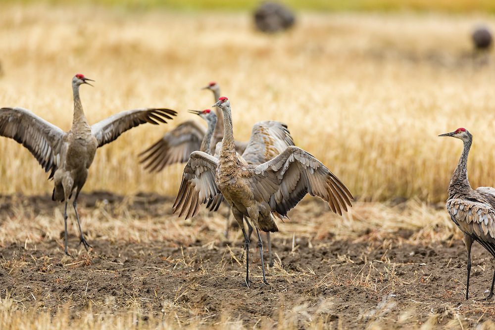 Agitated Sandhill Cranes (Grus canadensis) display plumage while foraging at Creamer's Field Migratory Waterfowl Refuge in Fairbanks in Interior Alaska. Summer. Afternoon.