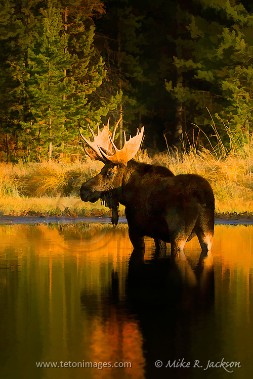Moody artistic effects applied to a photograph of a bull moose in Sawmill Pond in Grand Teton National Park at sunset.