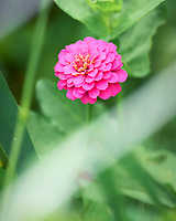 Pink Zinnia. Image taken with a Leica SL2 camera and 90-280 mm lens