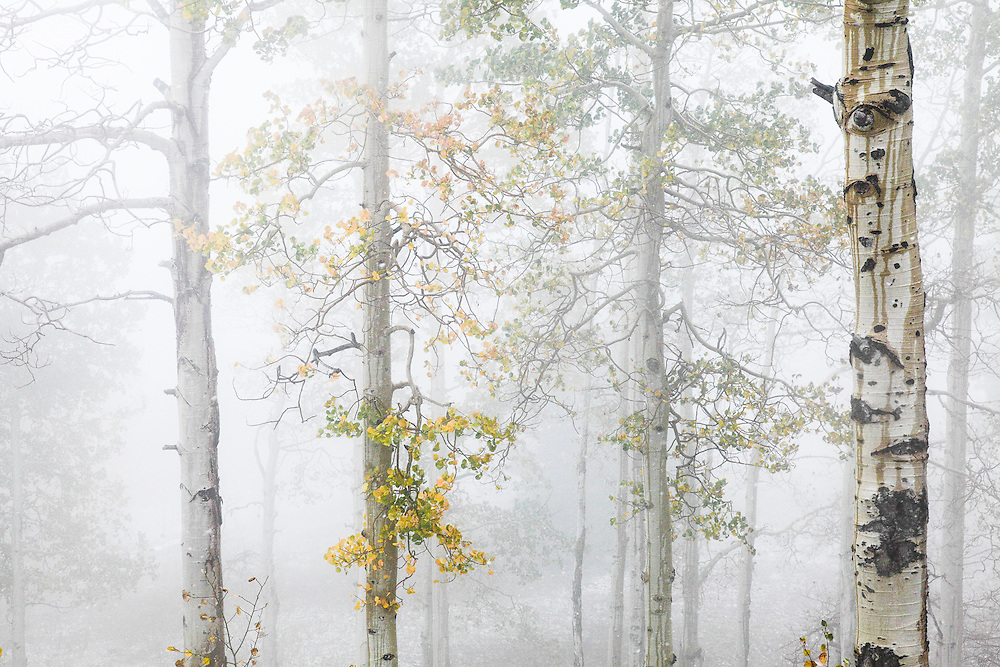 An autumn fog envelops the aspen forest of Nebo Canyon, in Utah's Uinta mountains.
