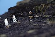 A Kelp goose (Chloephaga hybrida malvinarum) stands on the rocks near Southern Rockhopper penguins on Saunders Island Sunday 4th February 2018.