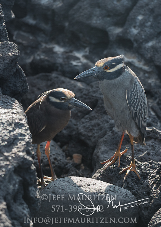 A pair of Yellow-crowned night herons on Santiago island, part of the Galapagos archipelago of Ecuador.