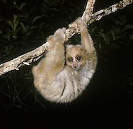 Slow Loris Nyctebus coucang Length 20-35cm  Unusual, arboreal primate that moves slowly. Large eyes suit mainly nocturnal habitats. Hands and feet have power grip. Unusually, it has a toxic bite, the toxin licked from gland on arm. Range is southeast Asia.