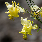 Columbine flowers (genus Aquilegia, in the Buttercup family, Ranunculaceae). Peter Lougheed Provincial Park, Kananaskis Country, Alberta, Canada.