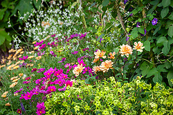 Dahlia 'Apricot Desire' with Cosmos bipinnatus, Nicotiana 'Lime Green' - Tobacco plant - and Gaura lindheimeri Papillon syn 'Nugaupapil'