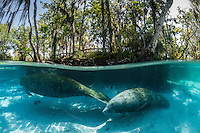 Florida manatee, Trichechus manatus latirostris, a subspecies of the West Indian manatee, endangered. Two manatees swim near submerged tree roots in the warm blue spring fed water, A boardwalk or viewing platform is visible nestled in the numerous trees. Horizontal orientation split image with sun rays. Three Sisters Springs, Crystal River National Wildlife Refuge, Kings Bay, Crystal River, Citrus County, Florida USA.