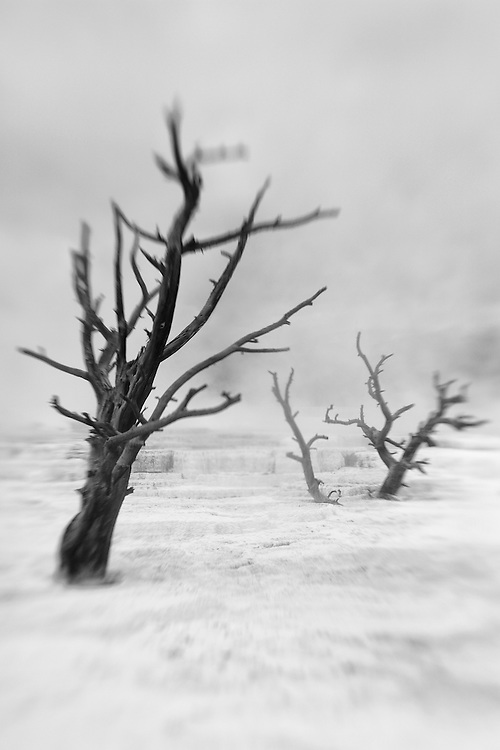 Dead Trees - Mammoth Terrace Hot Springs - Yellowstone National Park - Black & White - Lensbaby