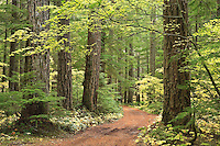 A trail courses through an old growth forest along the Ohanapecosh River in the Gifford Pinchot National Forest, Washington, USA