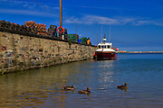 Eider ducks swim in the harbour at Seahouses, Northumberland. In addition to being a working fishing port, Seahouses is a tourist destination and embarcation point for visits to the Farne Islands.
