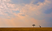 Dawn over Maasai Mara with lonely Giraffe and Akasia tree.