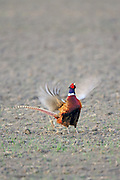 Rooster Pheasant displaying and crowing for nearby hens during the spring breeding season
