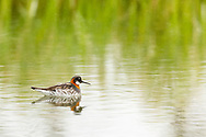 Red-necked Phalarope (Phalaropus lobatus) feeding in pond at Pilgrim Hot Springs outside of Nome in Northwest Alaska. Spring. Afternoon.
