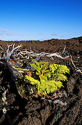 Fern emerging from a'a lava flow, Hawaii Volcanoes National Park, Hawaii