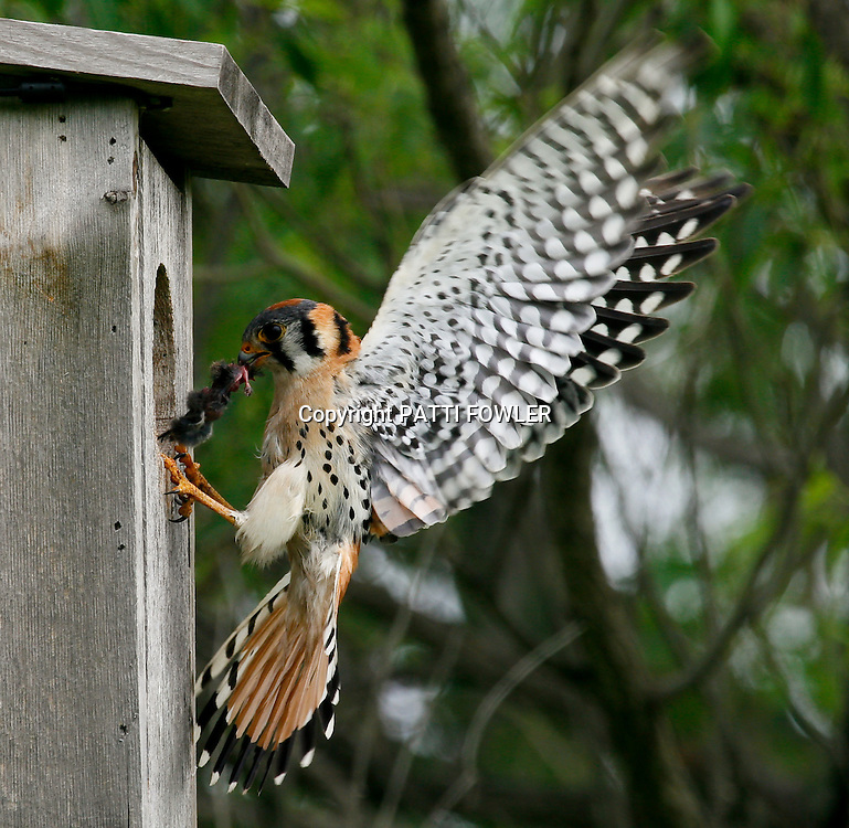 male American Kestrel feeding