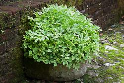 Aegopodium podagraria 'Variegatum'. Controlling invasive variegated ground elder by growing it in a stone trough at Bosvigo Gardens, Cornwall