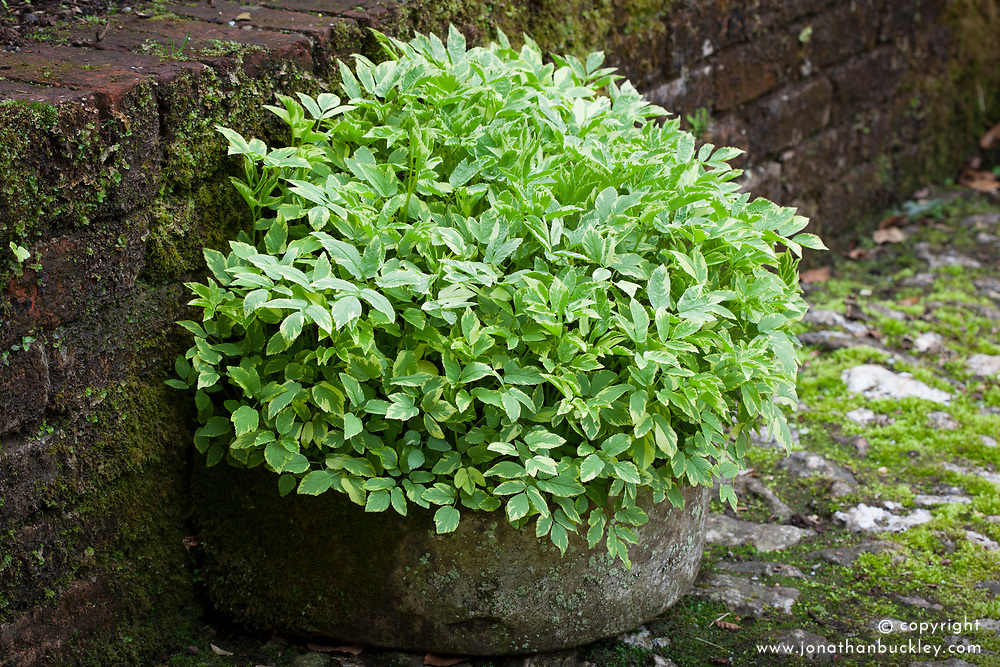 Aegopodium podagraria 'Variegatum'. Controlling invasive variegated ground elder by growing it in a stone trough at Bosvigo Gardens, Cornwall