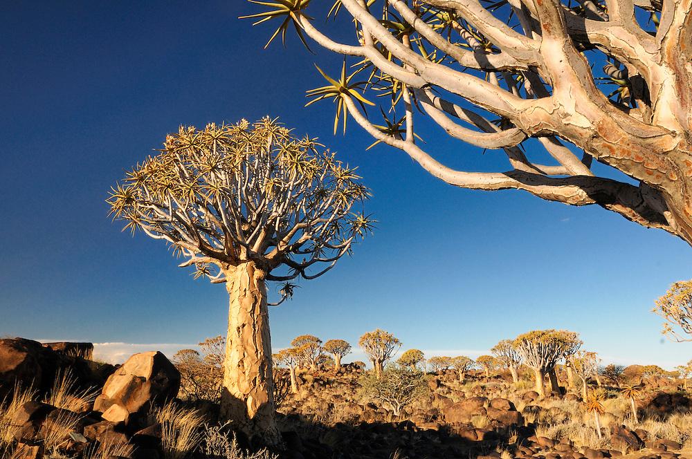 Kocherbaum, Quiver Tree, Quiver Tree Restcamp, Keetmanshoop, Karas Region, Namibia.