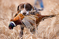 German short hair retriever running back to his master with a ringneck pheasant in his mouth during a hunt.