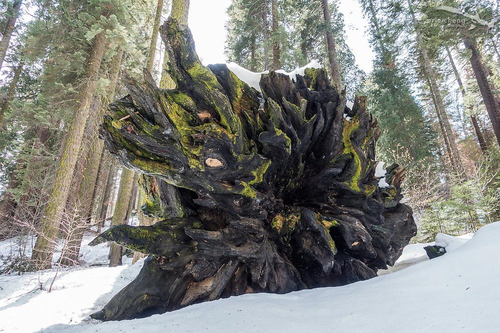 A fallen sequoia tree. Sequoia National Park, California.