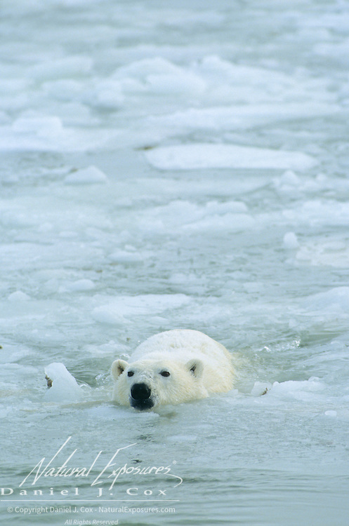 An adult polar bear swimming in Hudson Bay, Canada.