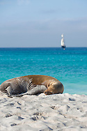 Sea lion sleeping on Espanola Island, Galapagos