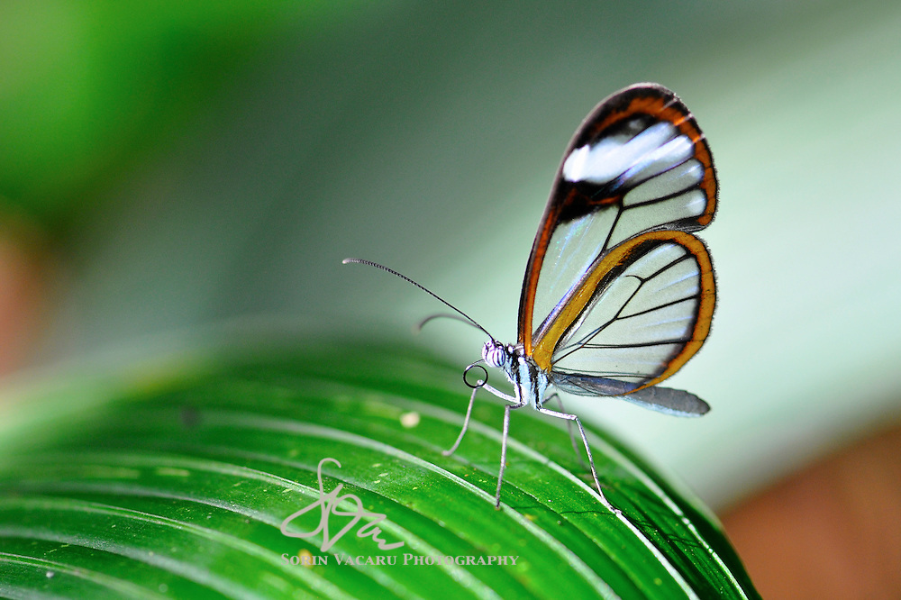 Glass Wing Butterfly