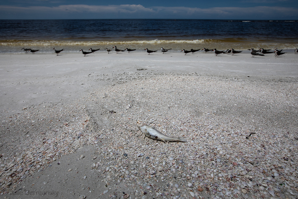 Black skimmers on Lido Beach along with fish kill from an ongoing red tide.