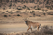 Roan (Hippotragus equinus)<br /> Private game ranch<br /> Great Karoo<br /> SOUTH AFRICA