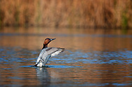 Male Canvasback exercising his wings