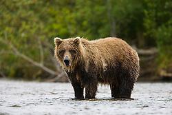 A coastal brown bear ( Ursus arctos ) standing in the water fishing for salmon, Katmai Peninsula, Alaska
