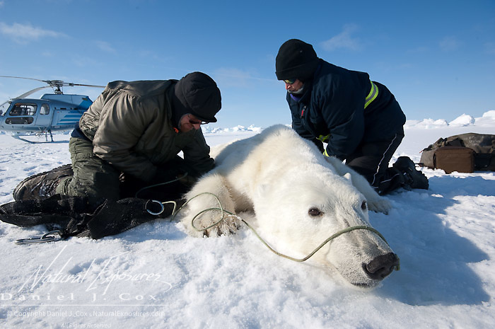 Geoff York, USGS biologist and Katrina Knott, research assistant, prepare a polar bear (Ursus maritimus) to start doing their research.  This female bear will receive a radio collar for future tracking.  Kaktovik, Alaska.