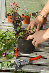 Potting up a fuchsia to overwinter in a greenhouse