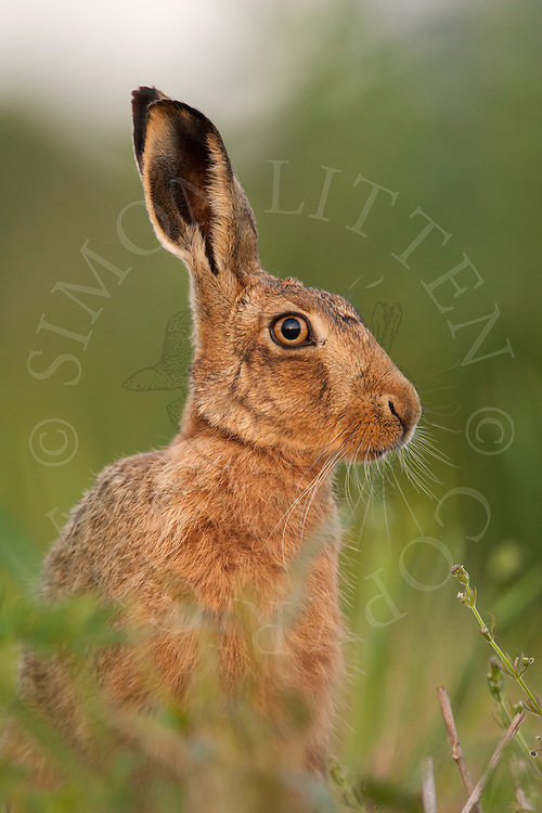 European Hare (Lepus europaeus) adult alert, close up of head, Norfolk, UK.