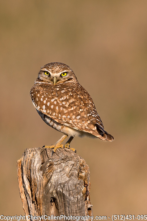 Burrowing owl on a wooden post