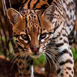 Jaguatirica (Leopardus pardalis) fotografada em cativeiro. Registro feito em 2014 | Oncelot photographed at zoo. Picture made in 2014.