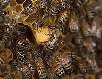 European honey bee (Apis mellifera), queen cells, Captive,  credit: Palo Alto JMZ/M.D. Kern