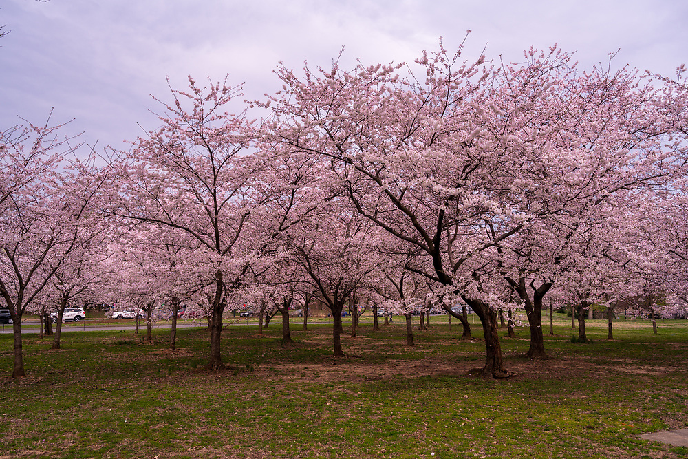 A Potomac Park morning with the cherry blossoms in peak bloom.