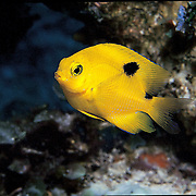 Threespot Damselfish, juvenile, inhabit reef tops in areas with algae in Tropical West Atlantic; picture taken Belize.