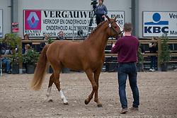 010, Pigon SG van Prinseveld<br /> Brp Keuring - Stal Hulsterlo - Meerdonk 2016<br /> © Hippo Foto - Dirk Caremans<br /> 19/03/16