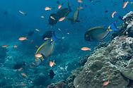 Black-spot surgeonfish-chirurgien à ocelle (Acanthurus bariene), Nusa Penida island, Bali, Indonesia.