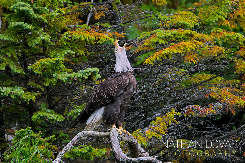 Bald Eagle perched on branch while calling;  Alaska.