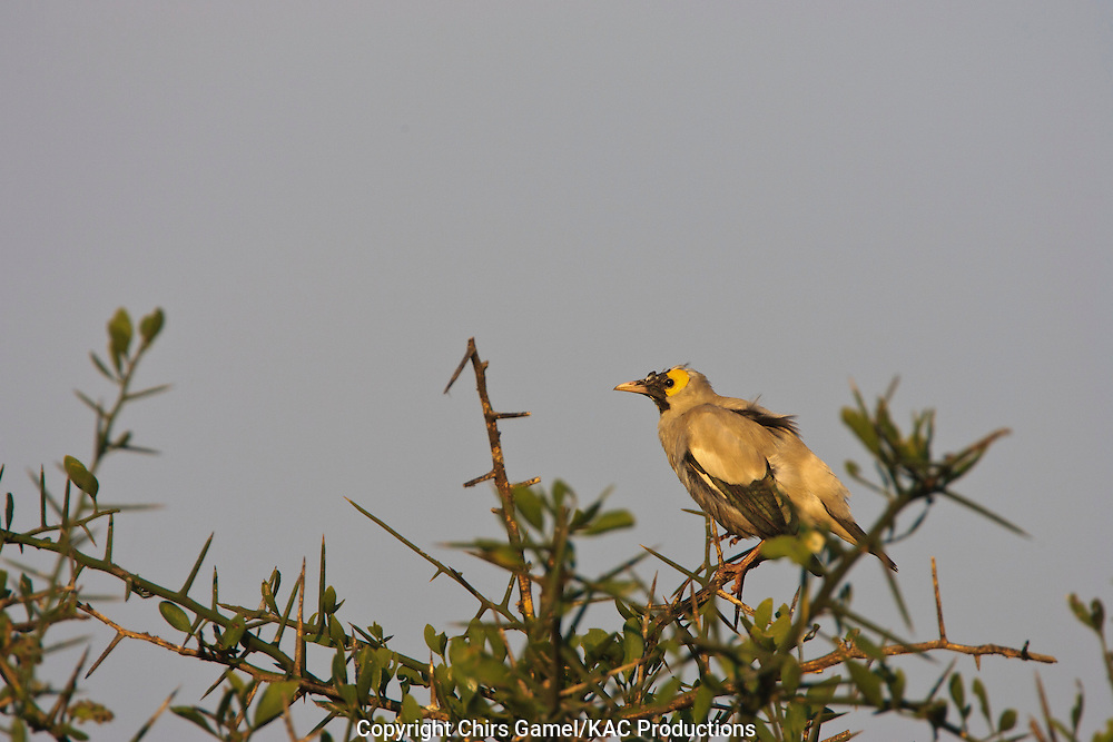 Wattled Starling (Creatophora cinerea) perched on top of a tree against a blue sky, Serengeti National Park, Tanzania, Africa; colony nester; social species