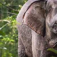 Face to face with a pygmy elephant in Kinabatangan Wildlife Sanctuary in the Malaysian province of Sabah on the island of Borneo. <br />